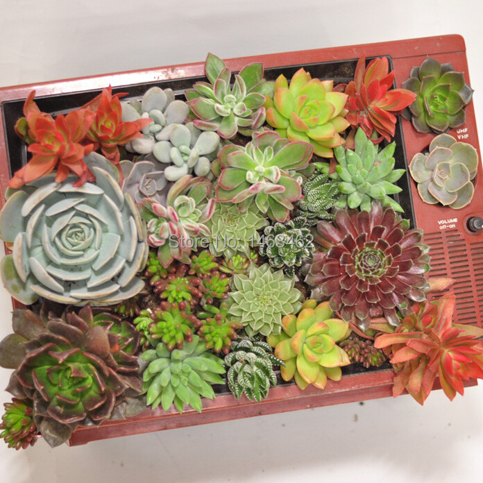 50pcs / Bag Succulent Plant Seeds, Indoor Office Small Desk Plants Flowers  Seeds (Mixed