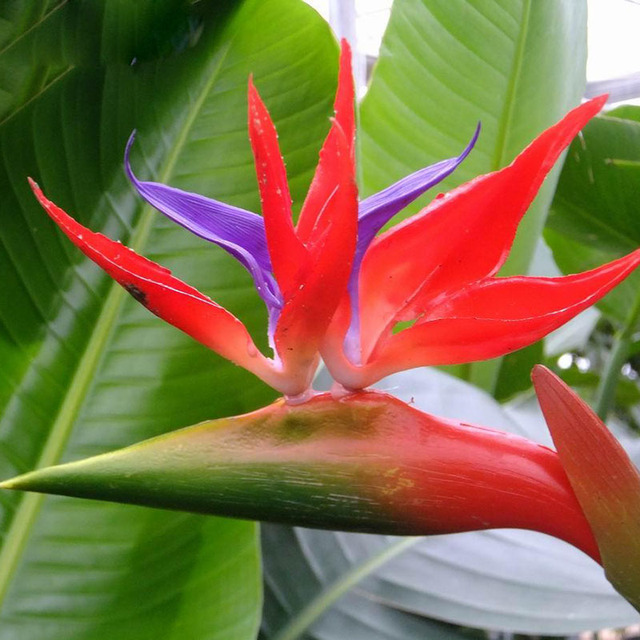 houseplants red strelitzia reginae seed long flowering paradise bird