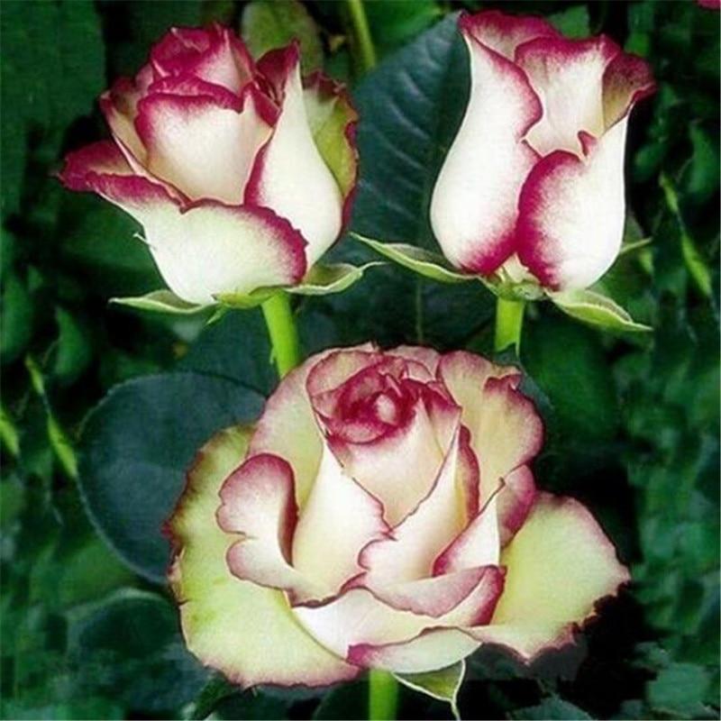 20seeds pack bonsai holland rainbow rose seeds for Holland rainbow rose seeds