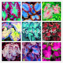 100 Pcs Rare Colorful Caladium bonsai plant Burnt Rose Elephant Ear Beautiful Bonsai Flower Potted Plants For Home Garden Decor(China)