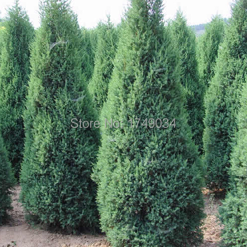 Buy beautiful evergreen trees cypress for Arboles de hoja perenne para jardin