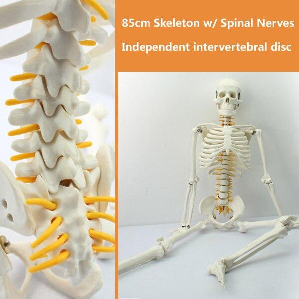 12365/CMAM-SKELETON05 Mini 85 cm modèle de squelette humain avec nerf rachidien, sciences médicales enseignement éducatif modèles anatomiques