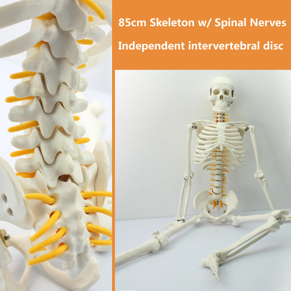 CMAM-SKELETON05 Mini 85cm Human Skeleton Model with Spinal Nerve,  Medical Science Educational Teaching Anatomical Models plastic standing human skeleton life size for horror hunted house halloween decoration