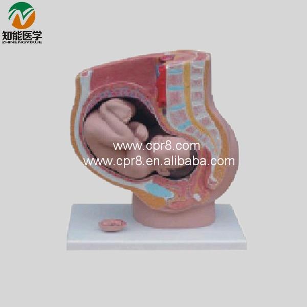Model Of Pregnancy (Sagittal Anatomy) BIX-A1066 WBW417 perrelet turbine diver a1066 3 page 5