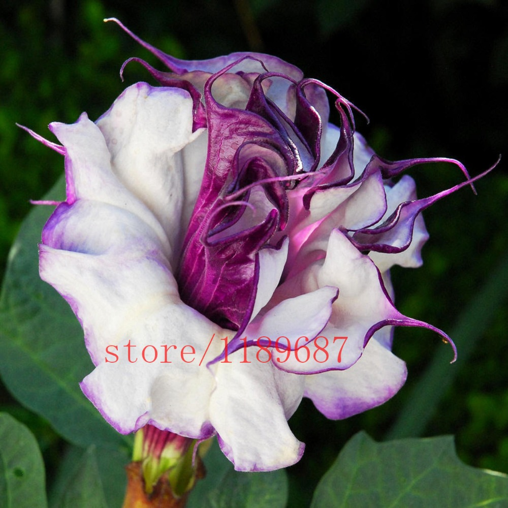 Datura plant seeds beautiful promotion shop for promotional datura 200pcsbag rare purple datura seedsbonsai beautiful flower seeds high quality potted plant for home garden dhlflorist Images