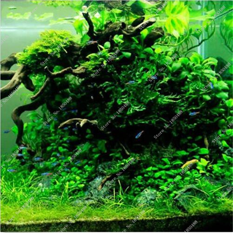 Best selling 1000 pcs bag grasses aquarium plants moss for Ornamental fish tank