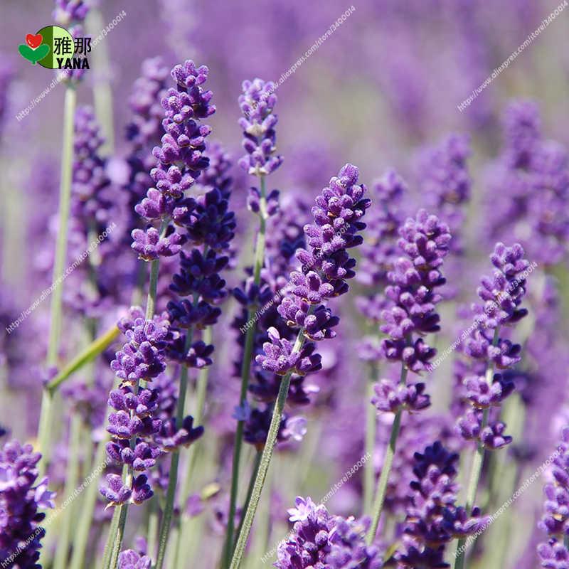 Baunilha perfumado Lavandula orgânica lavanda Provence Lavanda roxo flor planta couryard Bonsai100pcs/saco de sementes