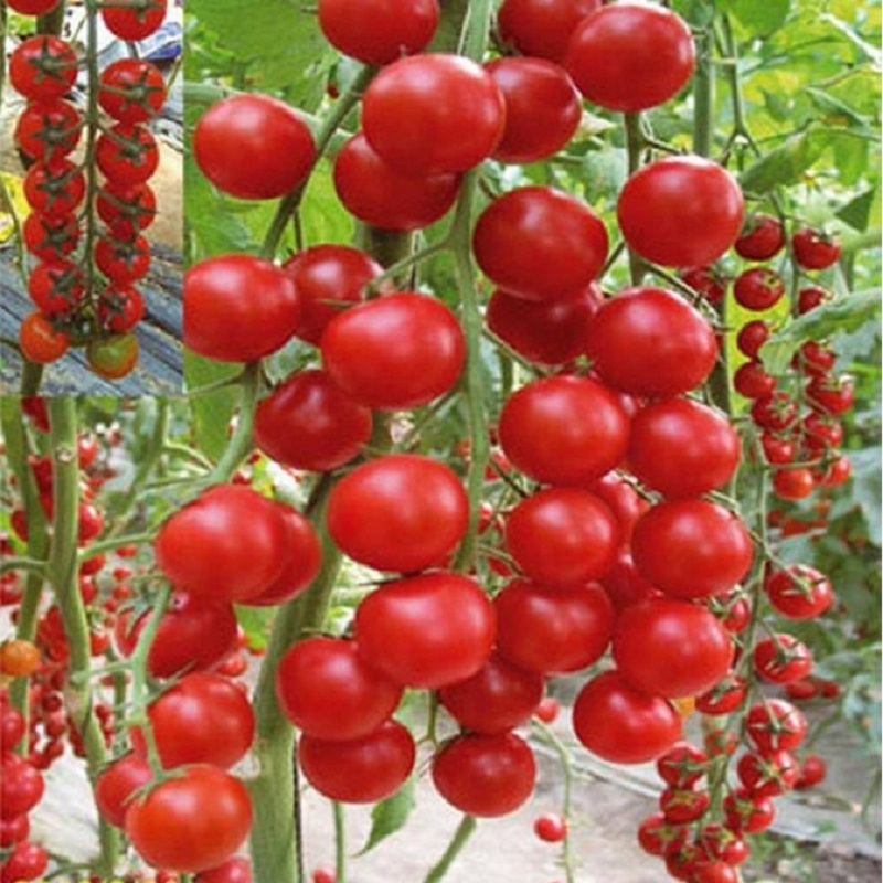 Pink Tomato Seeds Caramel Anti- Ty Virus 500 seeds Organic Vegetables