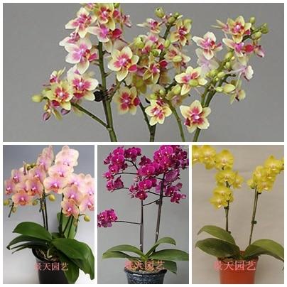 GGG Phalaenopsis Seeds bonsai balcony flower orchid seeds bundle - 200 pcs Phalaenopsis Orchids seeds
