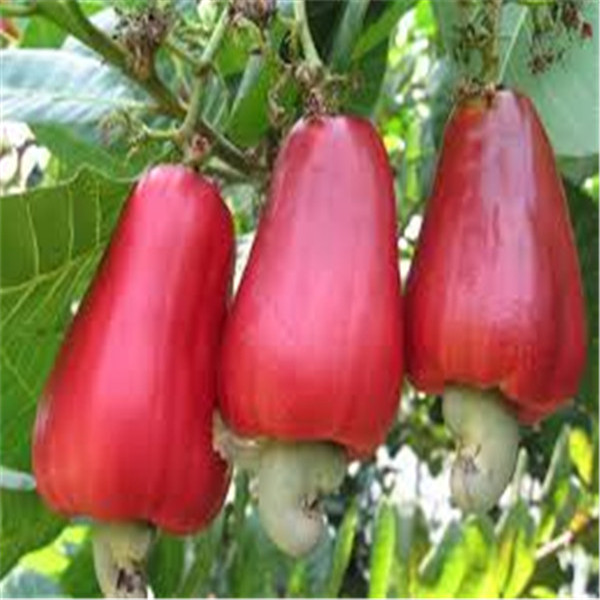 Garden Plant 5 PCS Cashew Tree Seeds Anacardium Occidentale Rare Tropical Plant Tree fruit Seeds 8