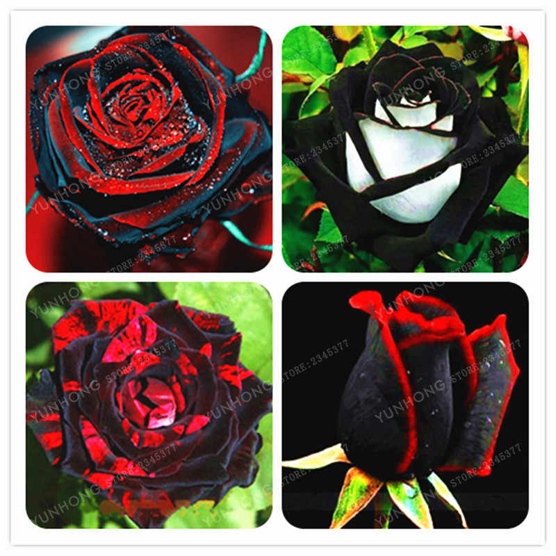 100 pcs Rare Rose Bonsai Black Rose Flor Com Borda Vermelha Rara Subiu Flores Bonsai Para Jardim Bonsai Plantio