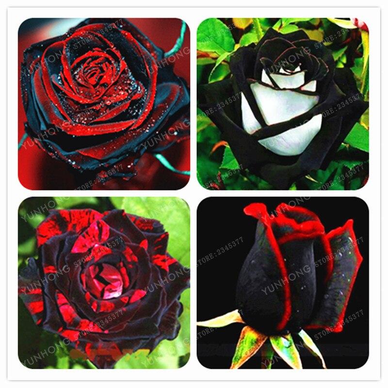 Шт. Роза бонсай шт. Редкие 100 Черная роза цветок с красной кромкой редкая роза цветы бонсай для сада посадка бонсай