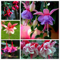 100 Fuchsias flower seeds , Potted Flowers, Planting Flowers, Bell Flower, Lantern Begonia, Mixed Color decorative DIY garden