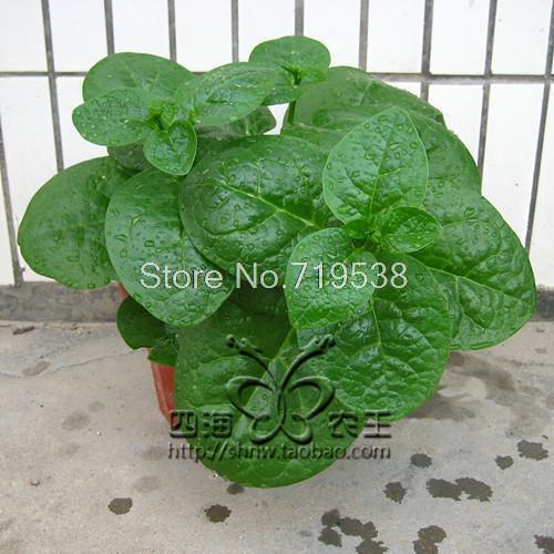 Bonsais большой Малабар Шпинат шт. 10 шт. овощи bonsais