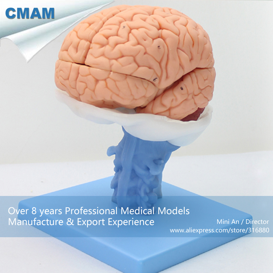 12403 CMAM BRAIN06 Life Size 1:1 Brain Nervous System Study Model, Medical Science Educational Teaching Anatomical Models