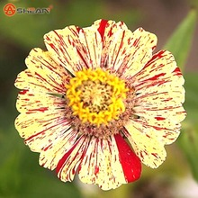 New Arrival Blending Zinnia Seeds Perennial Flowering Plants Potted Charming Chinese Flowers Seeds 100 Particles /lot