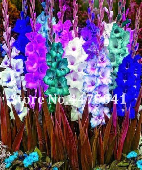 Промо-акция! 100 шт вырезанные гладиолус бонсай цветочный сад многолетнее растение бонсай Крытый аэробный гладиолус цветок редкий меч Лилия