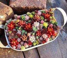 500Pcs/Bag Rare Succulent Plant Potted Mix Lithops Pseudotruncatella Garden Decoration - Planting