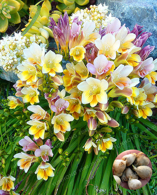 Real Amarillo Freesia Bulbos Interior Macetas Flores Orquideas
