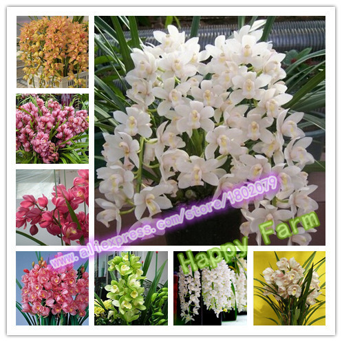 100 pcs rare 10 kinds Chinese cymbidium Seed balcony seeds bonsai garden flower seed orchid Free Shipping