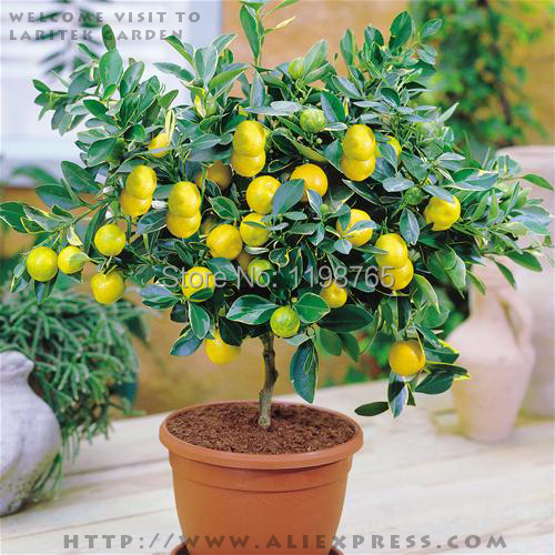 Free shipping 50 LEMON TREE SEEDS WITH HERMETIC PACKING * indoor outdoor AVAILABLE * HEIRLOOM FRUIT SEEDS LEMON seeds 49%