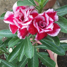 True Flowers Seeds Red and White Desert Rose Seeds Potted Balcony Bonsai Adenium Obesum Seeds 1 Particles / lot(China)