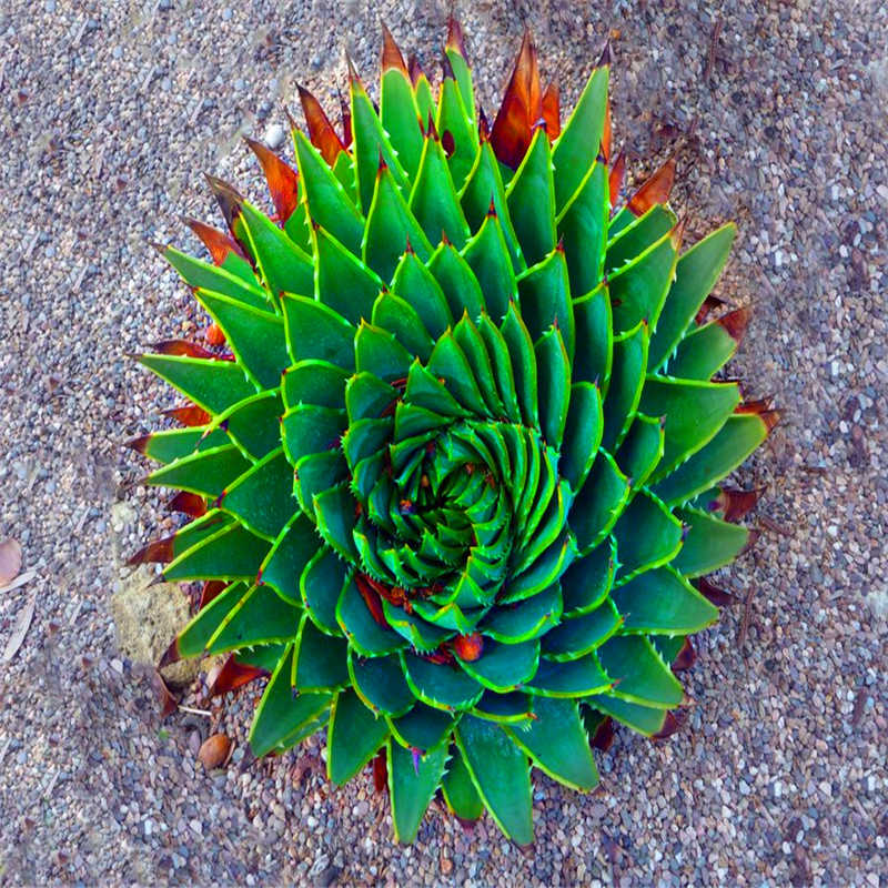 Sale !200 Pcs Green Aloe Vera Plants Edible Beauty Edible Cosmetic Vegetables And Fruit Bonsai Herb Tree Plants For Home Garden