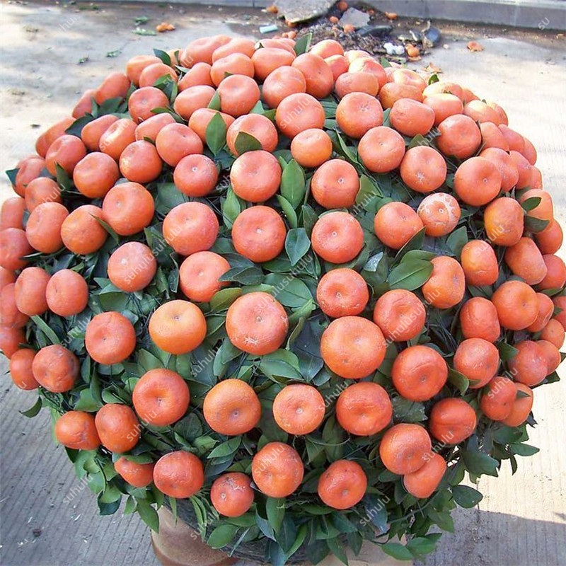 30 Pcs Orange Bonsai Citrus Plant Bonsai Mandarin Orange Flores Edible Fruit Bonsai Tree Plantas Healthy Food Home Garden