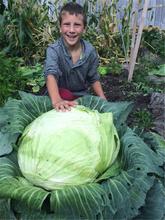 Giant Rare Cabbage Seeds, Vegetable Seed, 200pcs/pack