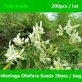 Semillas de Moringa Oleifera ampliamente Cultivada 200 unids, Moringaceae familia Drumstick Tree Semillas, Ben de La Salud terapéutica Aceite de Semillas de Árboles