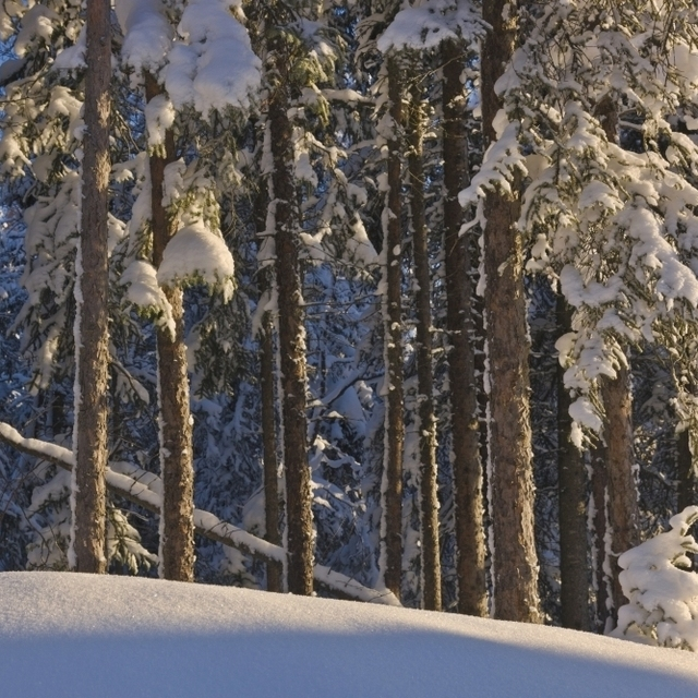 Fresh Snowfall On Spruce Forest On The Anchorage Golf Course;Anchorage Alaska Usa Poster Print (38 x 24)