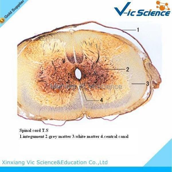 100 Pcs/Set Animal Histology slides 10 pcs 100