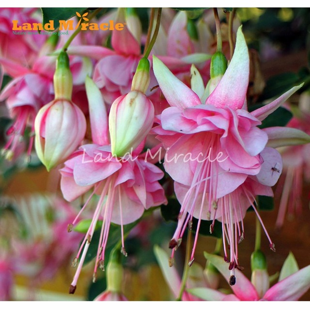 LAND MIRACLE Pink Lily Fuchsia Seeds, 100 Seeds/Pack, Fragrant ...