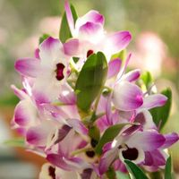 200 pcs/Bag Flower Seeds Dendrobium Seeds By Marseed Indoor DIY Bonsai Flower Sementes Home Gardening Planting