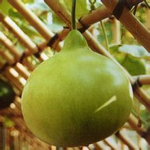 spoon botella de calabaza semillas de hortalizas verdes grandes de alta calidad bchina
