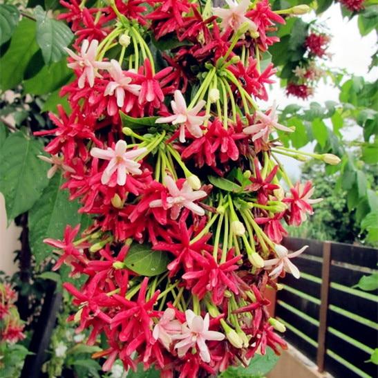 50pcs Rare Quisqualis ,Bonsai Flower Bonsai,NIX Colours, Heirloom Quisqualis Perennial Flower Bonsai Plant For Home Garden