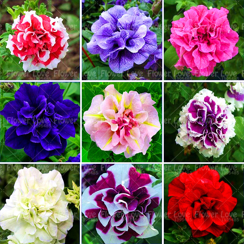 100 pcs Hanging Double Petals Petunia Seeds Bonsai Flower Seeds Short Height Flowers Seeds Indoor Potted Plant For Home Garden