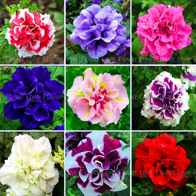 100 pcs Hanging Double Petals Petunia Seeds Bonsai Flower Seeds ...