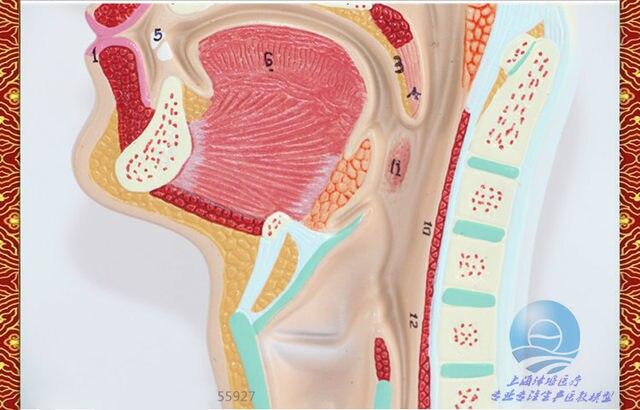 Tienda Online Cabeza Anatomía Modelo Anatómico de Cavidad Nasal y ...
