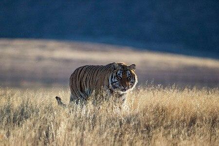 DIY рамка Свирепый тигр на Prairie Большие кошки диких животных Книги по искусству шелковой ткани плакат распечатать изображение