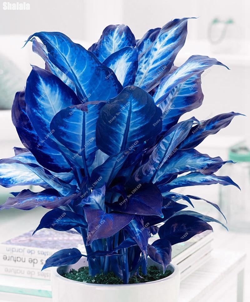 20 PCS Blue Dieffenbachia Seed Plants Bonsai Plant DIY Home Garden Pot Plante Indoor Perennial Dieffenbachia Flowers Gardening