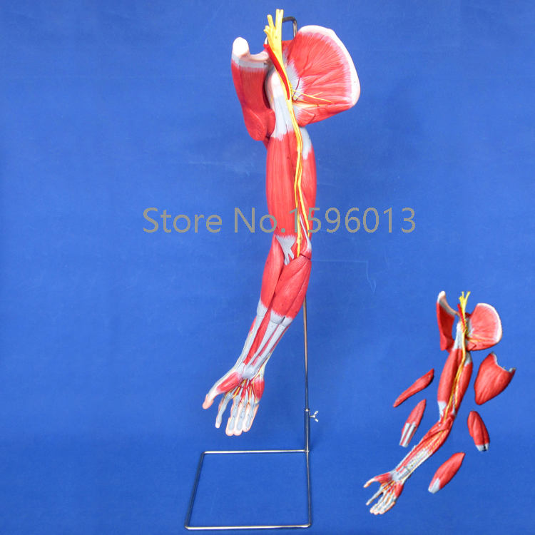 Muscles of Arm with Main Vessels and Nerves, arm muscles model economic half head with vessels model anatomical head model with brain nerves vascular muscles and vessels