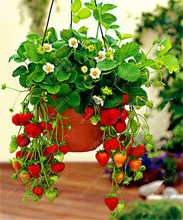 500/bag Giant Strawberry Seeds, Rare, Big as a Peach, Fragaria ananassa L. bonsai pot fruit seeds for home garden plant(China)