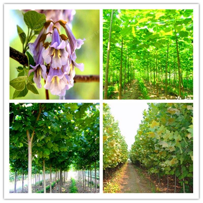 200 Pcs/bag Paulownia , Royal Empress Tree (Paulownia Tomentosa), Ourdoor Plants Flower Home Garden Pot Plants