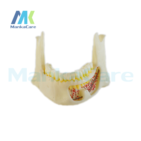 Manka Care - Mandibular anatomical model, made of imported resin Oral Model Teeth Tooth Model advanced simulation model of mandibular tissue decomposition simulation model of mandibular structures