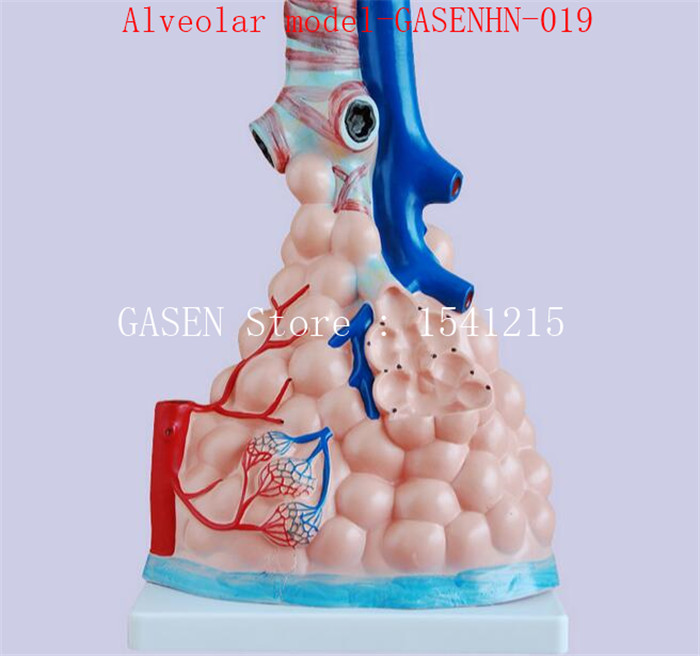 все цены на Alveolar enlargement model Anatomical structure of alveolar structure Respiratory system Alveolar model-GASENHN-019 онлайн