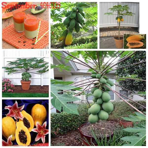 50 Pcs Manis Maradol Pepaya Outdoor Dimakan Tropis Juicy Jardin Buah Pusaka Kebun Organik Dwarf Fruit Tree Pepaya Bonsai