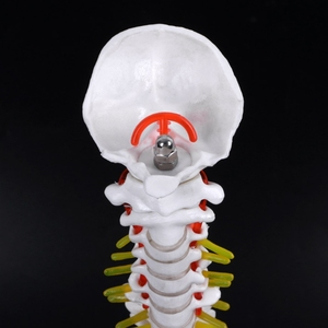 Image 2 - 45センチメートル人間の解剖学的背骨骨盤flexibleモデル医療援助学ぶ解剖