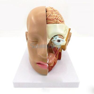 4 partie tête humaine crâne cerveau anatomie anatomique Oral nasopharyngé modèle école de laboratoire de sciences médicales