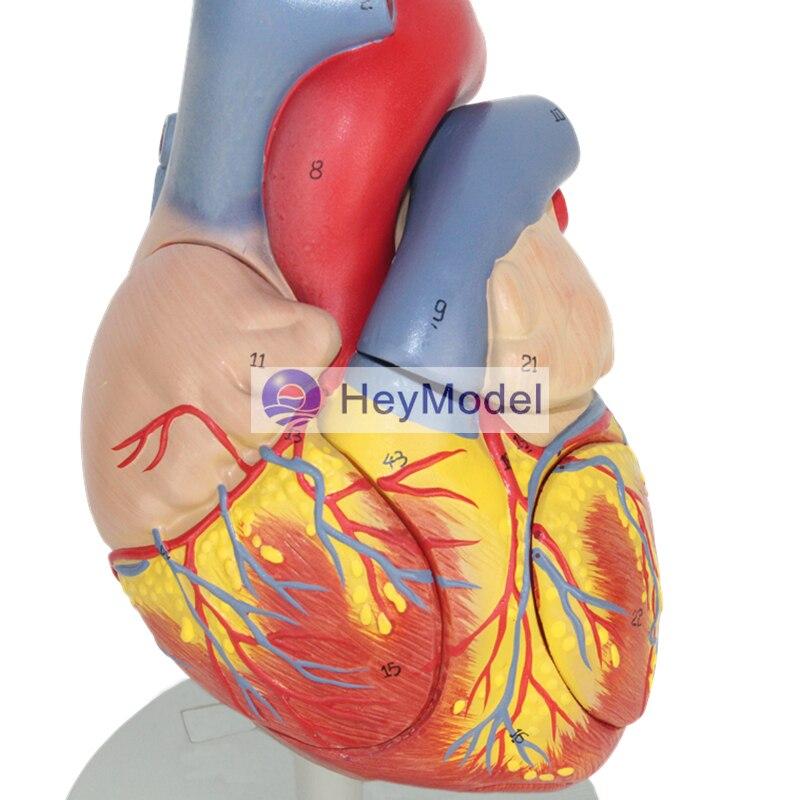 HeyModel Adult Heart Model  Removabal  2 times EnlargementHeyModel Adult Heart Model  Removabal  2 times Enlargement
